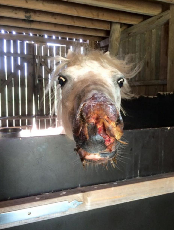allergi häst symptom