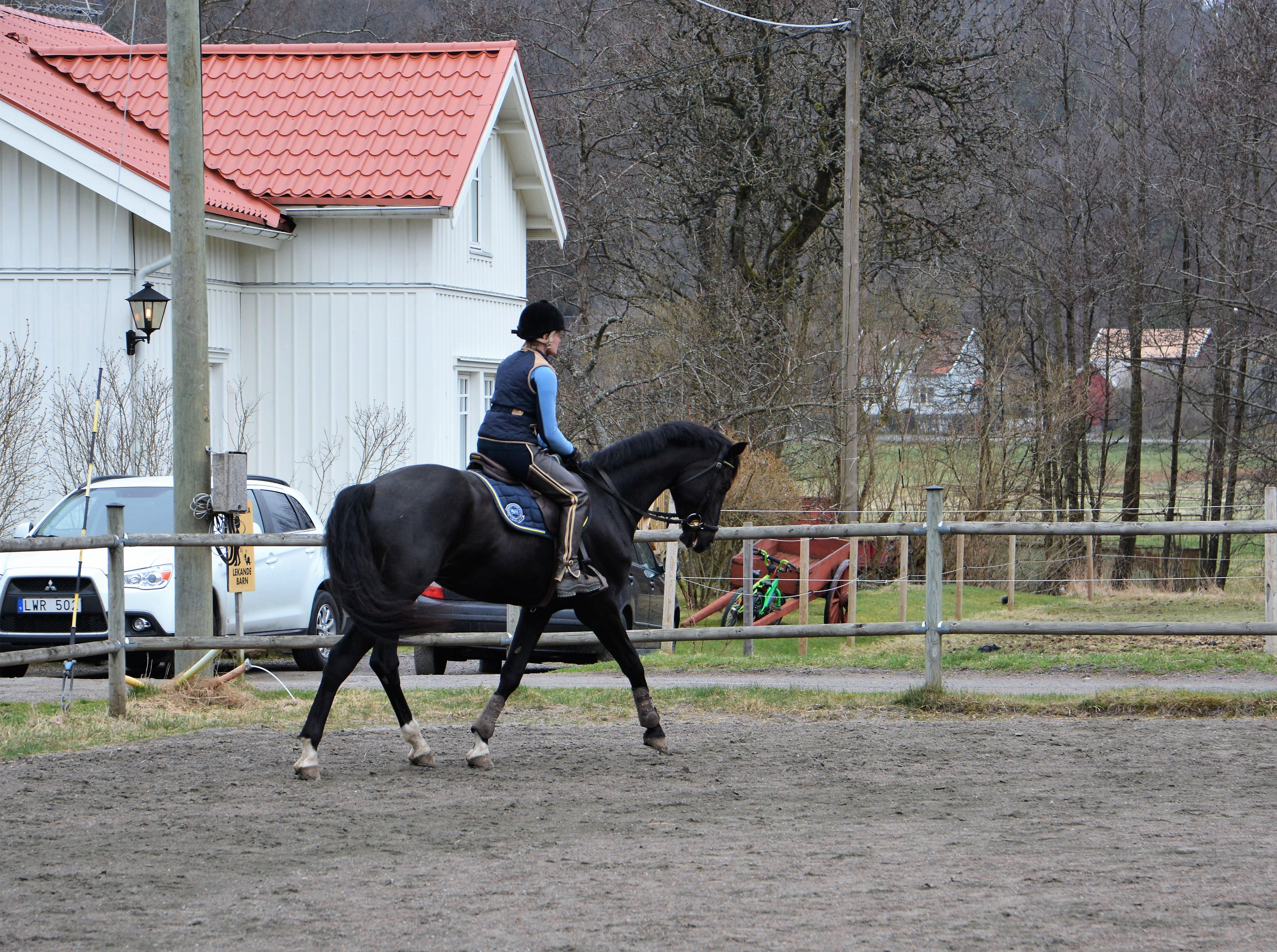 ... mycket på att hästen redan innan är van att hanteras varje dag. Detta  gäller även för de som ska bli hopphästar längre fram i livet. a1aa18bf315f3