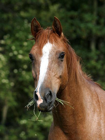 A Headshot Of A Veteran Chestnut Arab Horse.