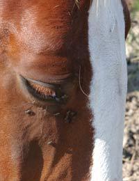 mjäll hos häst