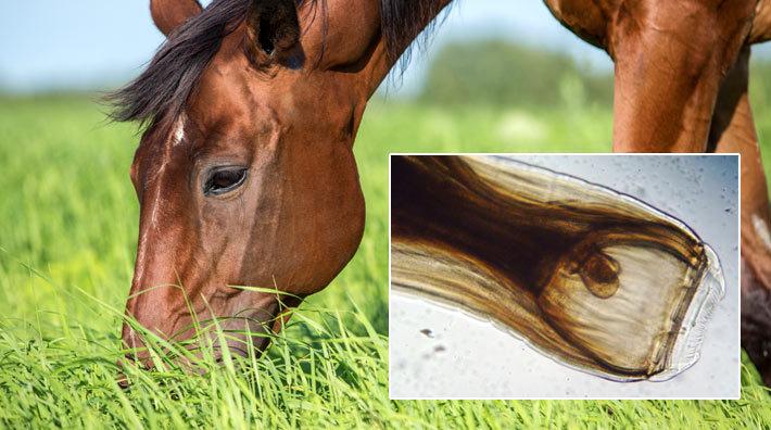 blodmask häst bete