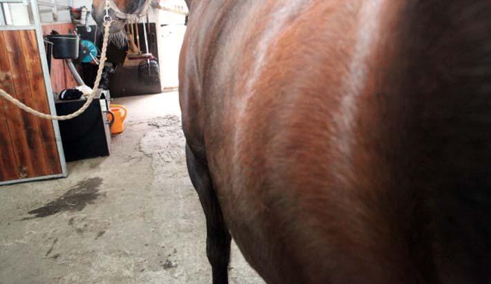 magsår häst