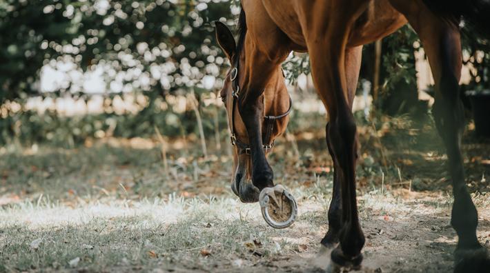 mager häst olja