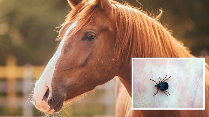 medel mot fästingar häst