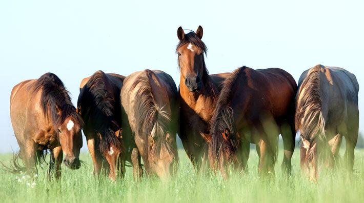 häst med hög feber